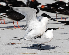 Sandwich Terns Matting (dbadair) Tags: outdoor nature wildlife 7dm2 ef100400mm canon florida bird