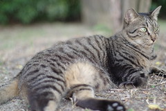 Brown Tabby Cat (Flexible Negativity) Tags: 猫 cat 貓 meow ねこ caturday nuko k70 pentax browntabby