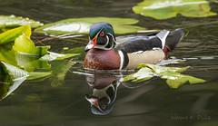 850_8899 Through the Lilypads (Wayne Duke 76) Tags: pond marsh duck waterfowl colourful bugs woodduck