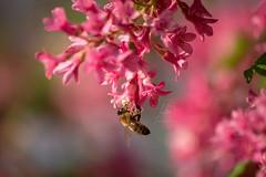 Honigbiene   Honey Bee (BMelzer Fotografie) Tags: honigbiene insekt bee insects macro nature natur insekten nahaufnahme canon canoneos750d