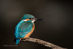 common Kingfisher (larslaguna) Tags: fåglar kingfisher commonkingfisher fågel kungsfiskare alcedoatthis