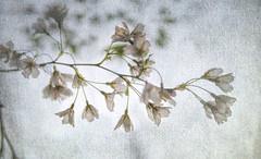 Blossom (judy dean) Tags: batsford velvet56 plants lensbaby gardens judydean 2019 arboretum spring blossom linen flowers