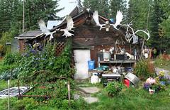 Alaska: Wiseman cabin (Henk Binnendijk) Tags: alaska wiseman logcabin hunter village daltonhighway arctic antlers
