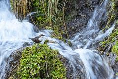 Dipper (Benjamin Joseph Andrew) Tags: bird songbird passerine aquatic water freshwater river stream spring