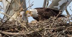16 April Eagles6-4161517 (TheMOX) Tags: eagle baldeagle bald raptor greenfield hancockcounty