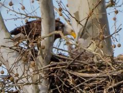 16 April Eagles3-4161477 (TheMOX) Tags: eagle baldeagle bald raptor greenfield hancockcounty
