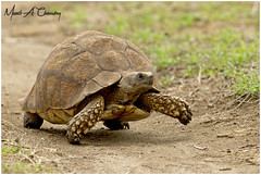 Mr Tortoise on the March! (MAC's Wild Pixels) Tags: mrtortoiseonthemarch africanspurredtortoise centrochelyssulcata sulcatatortoise groovedtortoise spurtortoise africanspurthightortoise centrochelys animal wildlife reptile africanwildlife wildafrica wildanimal wildlifephotography outdoors outofafrica nature naturephotography safari gamedrive herbivore lakenakurunationalpark greatriftvalley kenya macswildpixels munibachaudry