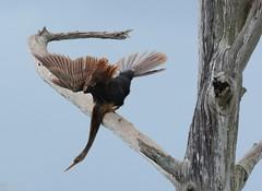 Green Cay wetlands S Florida 11Feb19.07. (Pervez 183A) Tags: anhinga florida birds