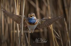 bluethroat (fire111) Tags: bluethroat blauwborst vlucht wings gorge bleue blaukehlchen flight bird birding wild wildlife nature