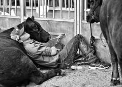 cow nap (gro57074@bigpond.net.au) Tags: angus monochromatic monotone monochrome mono bw blackwhite nikkor 70200mmf28 d850 nikon eastershow show cows sleep guyclift 2019 april sydney royaleastershow candid cow sleeping cownap