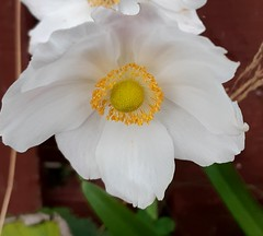 Project 365:107 (Jacqi B) Tags: flower project365 project3652019 whiteflower tobeadded 365the2019edition 3652019 day107365 17apr19
