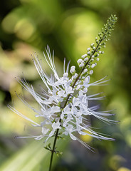 Cat's Whiskers (Orthosiphon aristatus) 2019-03-24 (7D_182A7002) (ajhaysom) Tags: catswhiskers orthosiphonaristatus melbournezoo butterflyhouse 100flowers2019 image50100 melbourne australia canoneos5dmkiii canon100mmlmacro