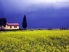 Campo Giallo  / Yellow Field (Eugenio GV Costa) Tags: approvato campagna nuvole cielo alberi countryside clouds sky trees outside