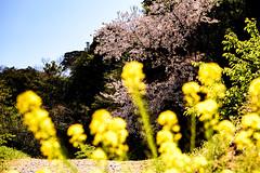 菜の花桜 #2ーCanola flower and cherry tree #2 (kurumaebi) Tags: yamaguchi 秋穂 山口市 nikon d750 nature landscape 花 菜の花 flower canolaflower canola 桜 cherr spring 春