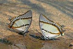 Meal for 2 ! Polyura nepenthes - the Shan Nawab (BugsAlive) Tags: butterfly mariposa papillon farfalla 蝴蝶 dagvlinder 自然 schmetterling бабочка conbướm ผีเสื้อ animal outdoor insects insect lepidoptera macro nature nymphalidae polyuranepenthes shannawab charaxinae wildlife doisutheppuinp chiangmai ผีเสื้อในประเทศไทย liveinsects thailand thailandbutterflies nikon105mm bugsalive ผีเสื้อม้าขาวแคว้นฉาน