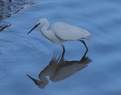 Little Egret (alanrharris53) Tags: olympus mft portugal algarve