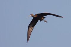 Glossy Ibis Juvenile (Plegadis falcinellus) (gipukan (rob gipman)) Tags: glossy ibis juvenile plegadisfalcinellus eempolder arnenheem netherlands canon canon300lis4 14x sun morning riet blue bird 177a0349