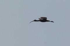 Glossy Ibis Juvenile (Plegadis falcinellus) (gipukan (rob gipman)) Tags: glossy ibis juvenile plegadisfalcinellus eempolder arnenheem netherlands canon canon300lis4 14x sun morning riet blue bird 177a0331