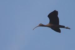 Glossy Ibis Juvenile (Plegadis falcinellus) (gipukan (rob gipman)) Tags: glossy ibis juvenile plegadisfalcinellus eempolder arnenheem netherlands canon canon300lis4 14x sun morning riet blue bird 177a0323