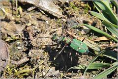 Feld-Sandlaufkäfer (Cicindela campestris) (Maggi_94) Tags: feldsandlaufkäfer cicindelacampestris käfer coleoptera laufkäfer carabidae feldsandläufer sandlaufkäfer