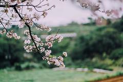 吉野櫻 (aelx911) Tags: a7rii a7r2 sony fe85 fe85f18 landscape cherryblossom cherry taiwan taipei nature flower 台灣 台北 櫻花 三芝 三生步道