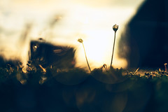 Fine and dande (Sarah Rausch) Tags: 50mm 18 sony dandeliondiaries fineanddande bokeh
