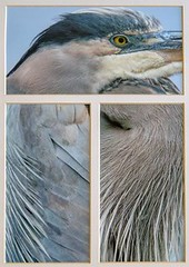 BLUE HERON TRYPTICH by Judith Gimber (Harrow Camera Club) Tags: print16apr annual nature prom
