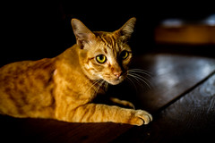 Look at me (Thanathip Moolvong) Tags: cat ginger gato neko meow pussy kucing