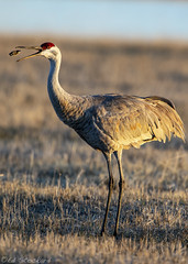 Tossing a Cow Turd (Ed.Stockard) Tags: crane sandhillcrane bird migration malheur burns or oregon ritual morning sunrise