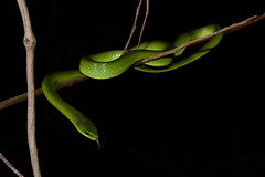 Greater Green Snake 2 (Bob Hawley) Tags: asia taiwan nikond7100 nikon28105mmf3545afd pingtung taiwutownship beidawushan reptiles herpetology greatergreensnake cyclophiopsmajor sticks trees wildlife nature animals