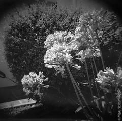 Holga-Acros-04-03.jpg (Mauricio Miret) Tags: holga acros100 ilfosol silverscan epsonv600 bw film blackandwhite