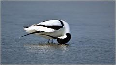 Avocet preening. (Jeremy Eyeons) Tags: avocet bird wader water rspb framptonmarsh lincolnshire recurvirostraavosetta preening