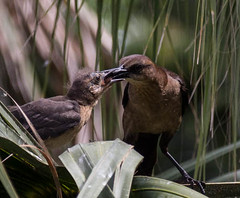 Grackle (Dr Clontz) Tags: birds grackle feeding