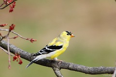 American Goldfinch Male (Anne Ahearne) Tags: wild bird animal nature wildlife maple buds tree gold finch yellow songbird birdwatching goldfinch