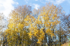Golden birch (fedoseenko) Tags: санктпетербург россия colour природа beauty blissful loveliness beautiful saintpetersburg sunny art shine dazzling light russia day park peace garden blue голубой небо лазурный color sky pretty sun пейзаж landscape view heaven mood serene golden gold colours picture tree nature alley trees field autumn outdoors old wood зелень зленое trail orange осень деревья красота d800 24120mmf3556d береза birch