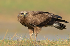Indian Spotted Eagle (Aravind Venkatraman) Tags: 2019 av aravindvenkatraman birdphotographer birder birds birdsofindia indianbirds indian spotted eagle indianspottedeagle clanga hastata clangahastata aravind avaineyescom avphotography avfotography bird birdphotography birding birdsindia birdwatching birdsforeverin india indiabirds incredibleindia indianbird
