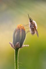 | Like a breath | (valerio.clementi) Tags: pentaxlenses macroworld macrofotografia nture beauty close bombylius k1 italy umbrianature terni insectworld naturalbeauty flower colors dfa100macro myplace near flicker