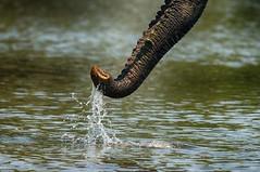 Another Elephant Trunk... (lyn.f) Tags: african elephant trunk choberiver botswana water waterislife nikon nature naturelover safari pangolinphotosafaris
