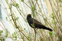 bystre oko obserwuje (roman25a) Tags: ptaki