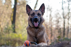 _MG_7347 (icycoldtouches) Tags: thor dog pet animal german shepherd belgian malinois puppy canon canoneos80d tamron tamron90mm
