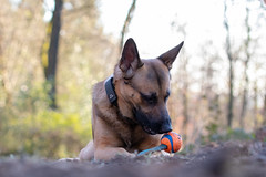 _MG_7342 (icycoldtouches) Tags: thor dog pet animal german shepherd belgian malinois puppy canon canoneos80d tamron tamron90mm