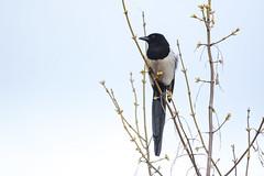 Сорока (Yuriy Kuzmenok) Tags: птицы птица природа сорока животные