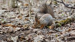 В поисках вкусненького (Yuriy Kuzmenok) Tags: природа весна белка животные