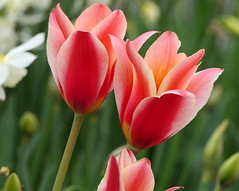 Photo of Tulips from Meigle