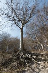 Roots and more roots, Møns Klint, Denmark (mistermacrophotos) Tags: møn moen klint chalk kridt coastline denmark spring blue sky nature colourful colorful calcium cliffs 120 metres meters