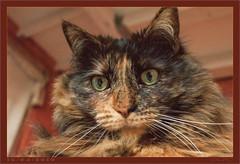 DSC04650  Easy Portrait (Olpo2vin) Tags: cat chat yeux eyes regard look félin feline olpo easy poils fourrure redessan 30129 animaldecompagnie vibrisses