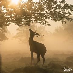 #stagoftheday #stag (maxjunkyard) Tags: stagoftheday stag
