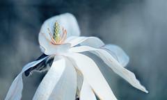 (Light Echoes) Tags: sony a7ii sonyilce7m2 2019 spring april philadelphiazoo zoo philadelphia pland tree magnolia bloom blossom flower