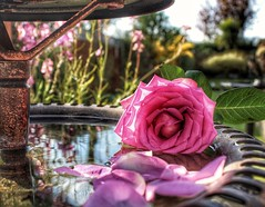 'Bed of roses' (LeanneHall3 :-)) Tags: pink rose rosepetals petals flower flowersarefabulous flowerarebeautiful flowerflowerflower flowerscolors closeupphotography closeup macro macrophotography macroflowerlovers canon 1300d green leaves reflection water garden