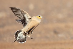 Spotted Sandgrouse (Phil Gower Bird Photography) Tags: spotted sandgrouse